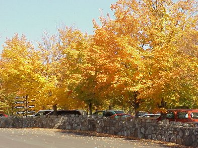 Maple trees at the edge of the parking lot